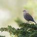 Accenteur mouchet (Tifaeris) Tags: accenteurmouchet dunnock passériformes prunellamodularis prunellidés bird oiseau