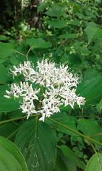 Cornus foemina (tammoreichgelt) Tags: dogwood swamp stiff cornaceae inflorescence white carolina north arboretum