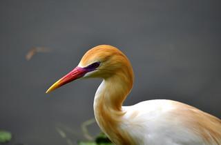DSC0066 Cattle Egret