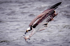 The Dive (Vic Zigmont) Tags: osprey birds raptor ospreyinflight birdinflight