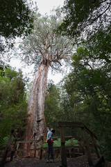 Ada tree (400 year old) (Travellers Travel Photobook) Tags: forest fangi nature australia macro habitattree environment conservation worldenvironmentday australianrainforest adatree largetree