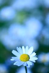 Flowers (21/52 - 2017) (K M V) Tags: daisy päivänkakkara marguerite white flower valkea valkoinen kukka weisse blume vit blomma kesä sommar sommer summer keto niitty meadow kukkaketo bokeh dof whitebalance