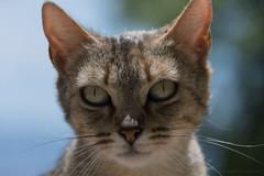 Chat_8336 (Luc Barré) Tags: chat chats cat cats outside exterior colors félin félins espagne granada alhambra
