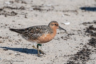 Rufa Red Knot (Banded JVT) ©