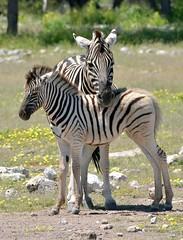 Protective mother with infant -  Burchell's Zebra's around an Etosha National Park waterhole in Namibia. (One more shot Rog) Tags: zebra burchellszebra etosha safari africa waterhole