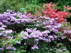 Clyne in Bloom Mid-May 2017 (2) (goweravig) Tags: flowers azaleas blooms clyne clynegardens swansea wales uk mayals parks gardens