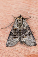 Specacle (The Treerunner) Tags: moth spectacle
