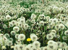 one of us (stempel*) Tags: gambezia pentax k30 flowers field meadow dandelions dmuchawce mlecz polska poland polen polonia mazowsze mazovia bigma sigma