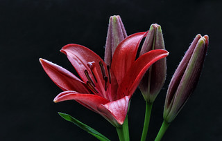Some Lily Red