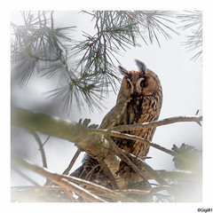Hibou moyen-duc Adulte (gilbert.calatayud) Tags: asiootus hiboumoyenduc longearedowl strigidés strigiformes bird oiseau rapace nocturne aiguamolls espagne