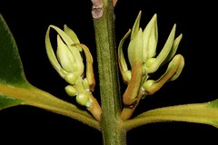 Calophyllum australianum (andreas lambrianides) Tags: calophyllumaustralianum clusiaceae blushtouriga pinkcalophyllum australianflora australiannativeplants australiaqnrainforests australianrainforestplants australianrainforestflowers arfflowers arfp qldrfp cyrfp welldevelopedrainforest