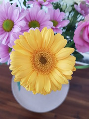 The Baberton Daisy (Steveneva88) Tags: flower flowers petals bouquet flowerphotography floristhybrid gerbera africandaisy babertondaisy centerpiece