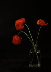 Rojo sobre negro............ (T.I.T.A.) Tags: amapolas poppies poppy coquelicot coquelicots dueñas castillayleón palencia jarrón florero macro dueñas2017