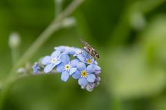 Mouche sur une brunnera macrophylla_5948 (lucbarre) Tags: brunnera macrophylla bleue bleu fleur fleurs flower flowers garden jardin fly