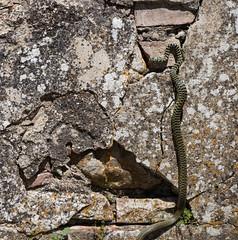 snake under the sun (Mancio85) Tags: snake serpente rettile reptile animali animals nature wall muro sole sun canon 80d selvaggio sauvage wild