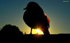 Mandarina al tramonto... (michelecipriotti) Tags: bologna emiliaromagna lag parco anatra anatramandarina natura tramonto sole colori parcodeigiardini
