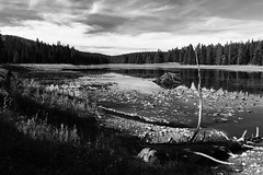 The branch the beavers missed (alideniese) Tags: grandtetonnationalpark wyoming usa northamerica landscape waterscape water lake reflection waterlilies trees branches sky clouds sunny blackandwhite bw monochrome 7dwf outdoors nationalpark unitedstates alideniese beaverlodge