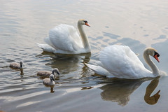 Mom and Dad - Explored (sowtz) Tags: thrybergh countrypark lake swan cygnet landscape nature iris