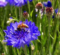 A magic torino bee (juredel) Tags: juredel bee abeille torino turin streetbee blue mai may 2017 magic wallpaper europewallpaper street insect macro huawei jardin fleur flower