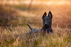 Viper (Photo Paw) Tags: dog dogs pastoreolandese shepherd hollandse puppy puppies