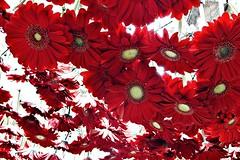Llueven flores (Helena de Riquer) Tags: flors flores flowers gerona girona gironés gerberas tempsdeflors primavera spring printemps springtime red rojo vermell rosso asteraceae helenaderiquer flickr fleurs fiori rouge gerberadaisy daisy sony sonydsch20 gironès catalunya catalonia cataluña catalogne saveearth 2012