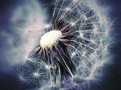 somewhere in our past there's a future.. (JOSEPHMAZZUCCO) Tags: dandelion seed seeds wind space macro fate