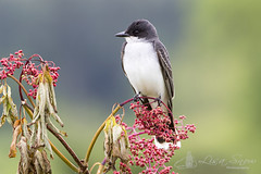 097A2497_edit_resized_wm (Lisa Snow Photography) Tags: eastern kingbird