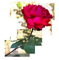 Rose (stevehunt7) Tags: red hockney rose flower joiner canon eos