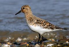 Sanderling (Severnrover) Tags: sanderling severn estuary spring migration beach uk wader wading bird birds summer plumage