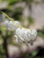 White Bleeding Heart (Johnnie Shene Photography(Thanks, 2Million+ Views)) Tags: white colour bleedingheart dicentraspectabilis dicentra flora floral flower flowering plant vertical photography outdoor colourimage fragility freshness nopeople foregroundfocus adjustment depthoffield bokeh stamen corolla petal day lighteffect nature natural wild wildlife livingorganism tranquility interesting awe wonder fulllength perspective shadow beautiful arrangement spring frontview korea asia peace modified canon eos600d rebelt3i kissx5 sigma 1770mm f284 dc macro lens 금낭화 꽃 봄 봄꽃 하얀 흰 백색