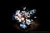 S N O O T (irwinunderwater) Tags: irwinunderwater irwinang diveadvisor underwaterphotograhy lighting underwaterlife underwatermaco nikonasia nauticam uwphoto picoftheday potd diveindonesia natgeo crustacean shrimp indonesia tulamben oceangeographic underwaterworld harlequinshrimp paditv padi diverlife iamnikon instadive uwphotography nikon
