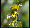 OLIVE-CROWNED YELLOWTHROAT Male Geothlypis semiflava Eating a Mistletoe Berry near Mindo in Northwestern ECUADOR. Warbler Photo by Peter Wendelken.