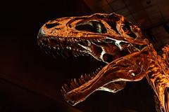 Dinner Anyone? (gendarme02) Tags: hmns houstonmuseumofnaturalscience houston tx texas dinosaur carnivore fossil paleontology old bones ancient prehistoric