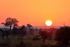 Morning call (Van-HC) Tags: sunrise southafrica krugerpark krugernationalpark satara golden goldenhours africa winter morning dawn trees animal bluewildebeest satararestcamp sunsetsandsunrisesgold