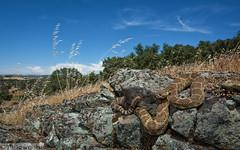 Northern Pacific Rattlesnake - Crotalus oreganus oreganus (Marisa.Ishimatsu) Tags: northern pacific rattlesnake crotalus oreganus calaveras california snake crote
