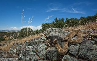Northern Pacific Rattlesnake - Crotalus oreganus oreganus
