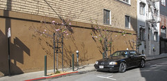 Ornamental cherry trees with Mercedes-Benz, set against a brown wall. (Tim Kiser) Tags: 2016 20160318 3trees bayarea california cityandcountyofsanfrancisco franknorrisstreet img0702 march march2016 mercedes mercedesbenz nobhill nobhillneighborhood polkgulch polkgulchneighborhood polkstreet sanfrancisco sanfranciscobayarea sanfranciscocalifornia sanfranciscostreetscape blackmercedes bollards brown brownpaint brownwall car cherryflowers cherrytrees curb floweringcherries floweringcherry floweringcherrytrees floweringtrees northerncalifornia ornamentalcherrytrees ornamentaltrees parkedmercedes parkedcar parkingmeters paved pavement pink pinkflowers poles redcurb shingles sidewalk streetscape threetrees treestakes treesupports trees urbantrees