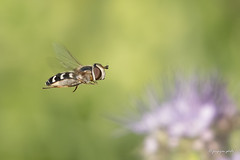 Hoverfly (Jongejan) Tags: insect hoverfly zweefvlieg nature macro bokeh