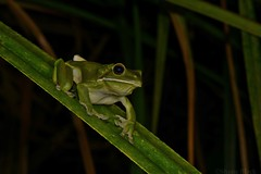 White-lipped Tree Frog (Litoria infrafrenata) (shaneblackfnq) Tags: whitelipped tree frog litoria infrafrenata shaneblack giant green amphibian julatten fnq far north queensland australia tropics tropical pandanus
