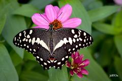 Citrus Swallowtail  (papilio demodocus) (jt893x) Tags: 105mm afsvrmicronikkor105mmf28gifed citrusswallowtail d810 insect jt893x macro nikon papiliodemodocus swallowtail butterfly specanimal