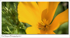 Orange and Green (Paul Simpson Photography) Tags: nature paulsimpsonphotography sonya77 imagesof imageof photoof photosof june2017 naturalworld photosofnature summer flowers flower leaves petals petal orangeflower
