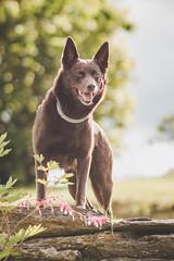 23/52 Grimm (andyjateer) Tags: grimm hnävanov psi australian kelpie dog red sunset canon 100mm 52weeksfordogs