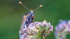 Eifel morning meadow: no bugs before coffee, please (Alta Alteo) Tags: lepidoptera morgentau wiese eifel westlicherscheckenfalter