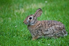 I shot a Wabbit! (ineedathis, Everyday I get up, it's a great day!) Tags: rabbit eating clover hare bunny mammal animal hff garden nature spring lawn grass feeding posing nikond750 furry outdoor