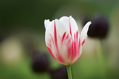 Snow White and the Black Queens. (Gudzwi) Tags: tulpe tulip bokeh garden whitetulip weisetulpe natur flower nature macro closeup nahaufnahme plant igaberlin2017