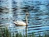 whooper swan... (karpo65) Tags: whooperswan summer jyväskylä lakeköhniönjärvi olympus ep1 olympusm40150mmf4056r finland