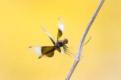 Libélula Landing (brian.pipe) Tags: nikon d500 80 400 afs dragonfly landing flying libelula hagerman national wildlife refuge grayson county texas tx