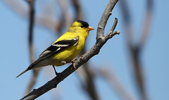 IMG_3657 Chardonneret jaune, Roberval (joro5072) Tags: animal nature oiseau bird chardonneret goldfinch