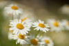 Margeriten (Ernst_P.) Tags: aut innsbruck kranebitten österreich tirol pflanze blume blüte margerite sigma macro 105mm f28 diamondclassphotographer flickrdiamond