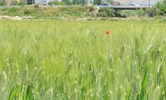 De cuando todavía habia cultivos en la Vega y no adosados (Micheo) Tags: vega naturaleza nature green verde amapola poppy campos fields hierbas cereales queja complaint